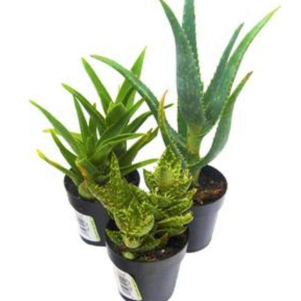 3-Pack Aloe Vera Succulent